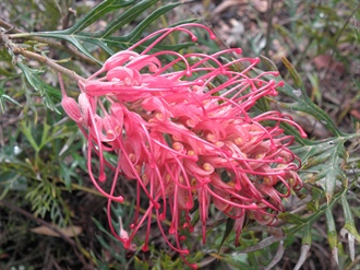 Grevillea, Plant of the Month