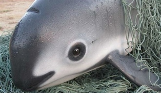Vaquita, the Next Species for Extinction?